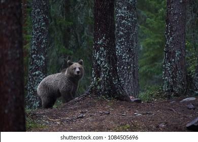 Wild bear nature
