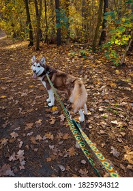 wild, beautiful brown siberian husky, walk in the forest, autumn, dog in the nature