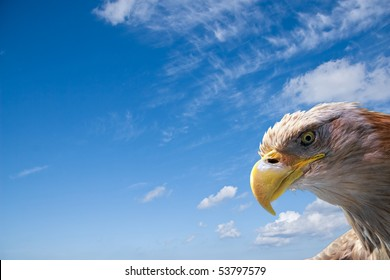 wild beautiful eagle head in front of a blue sky with room for your text