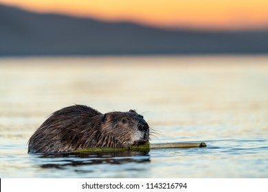 Wild Beaver at Sunset chewing wood Grand Teton National Park working hard