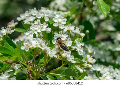 Wild bee colect pollen from Crataegus flowers in May