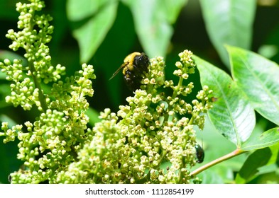 wild bee on an elderflower