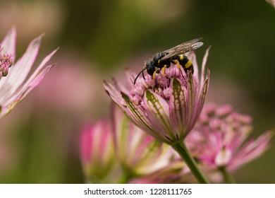 A wild bee on a flower (astrantia major)
