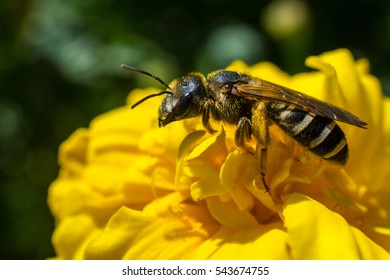 Wild bee on a yellow flower in summer