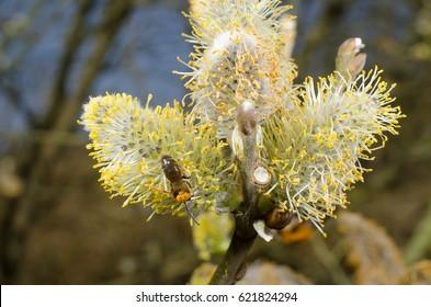 wild bee, willow catkins (pollen allergy...)