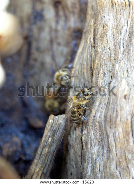 Wild bees hive in old gum tree. Picture of bee guarding the nest.