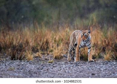 Wild Bengal tiger, Panthera tigris in heavy rain. Tigress walking on gravel, emerging from yellow grass, perfectly camouflaged. Tiger in its natural habitat. Ranthambore wildlife photography, India.