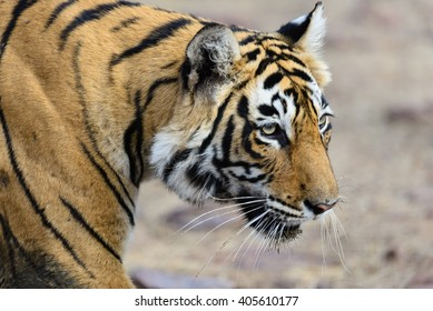 Wild Bengal Tiger (Panthera Tigris Tigris) close view in Ranthambore national park, India
