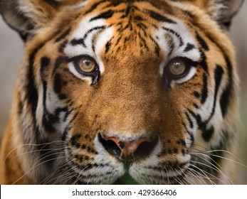 Wild Bengal Tiger (Panthera Tigris Tigris) face and eyes closeup in ranthambore national park, India.