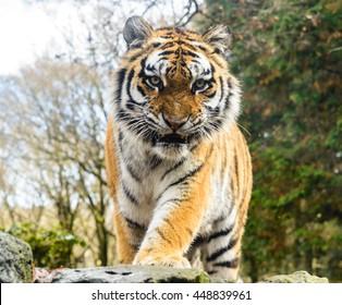 Wild Bengal Tiger (Panthera Tigris Tigris) in Ranthambore national park, India