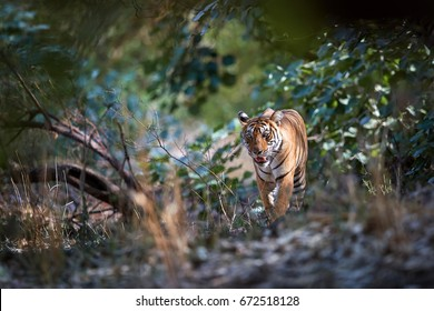 Wild Bengal tiger, Panthera tigris, walking directly at camera through dry forest partly illuminated by sun. Tiger in its natural environment. Ranthambore national park, Rajasthan, India.