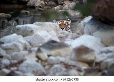 Wild Bengal tiger, Panthera tigris, having bath in natural, rocky pool, staring directly at camera. Tigress in the water. Tiger in its natural environment. Ranthambore  park, Rajasthan, India.
