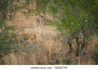 Wild Bengal tiger, Panthera tigris, walking  through dry forest with axis deer in background. Tiger in its natural environment. Bengal tiger in indian landscape. Ranthambore national park, India.