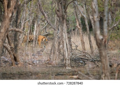 Wild Bengal tiger, Panthera tigris, walking  through dry forest among tree trunks. Tiger shows how  its stripes camouflage  works. Bengal tiger in indian landscape. Ranthambore national park, India.