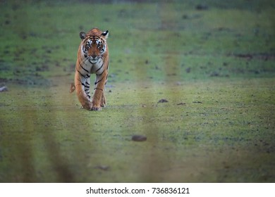 Wild Bengal tiger, Panthera tigris in heavy rain. Tigress running directly at camera in its natural habitat. Ranthambore National Park, Rajasthan, India.