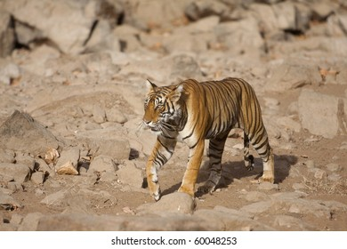 Wild bengal tiger in Ranthambhore park (India)