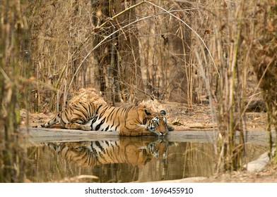 Wild Bengal Tiger sitting half in the water