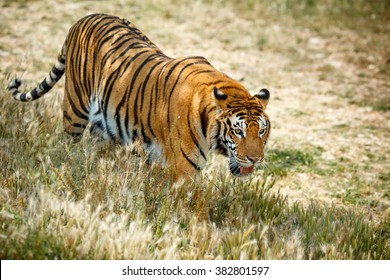 Wild bengal tiger walking and looking something in summer day
