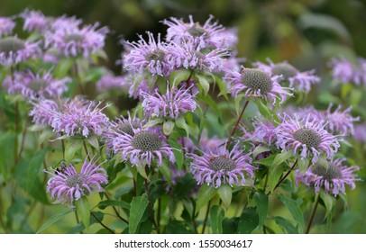 Wild bergamot or bee balm (Monarda fistulosa) blooming in the garden.