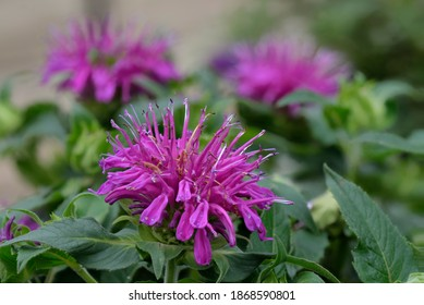 Wild Bergamot (Monarda fistulosa) flowers also known as Purple bee balm.