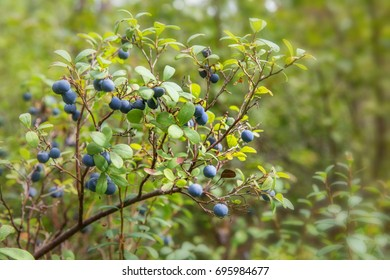 Wild berries on a green vegetative background in forest. Blueberries, lingonberries and heather in a pine forest. Landscape of late summer or early autumn. Latvia