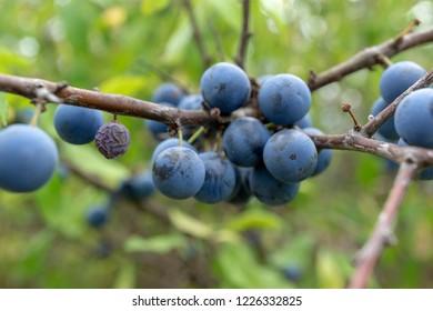 wild berries. Prunus spinosa, called blackthorn or slow.