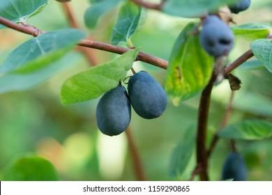 Wild berries of Siberia, Russia. Honeysuckle (Lonicera caerulea).