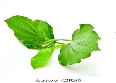 Wild Betel Leafbush isolated on white background