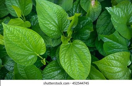 Wild Betel Leafbush , Piper sarmentosum Roxb, green leaves of tropical plant