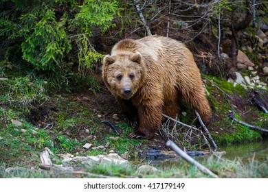 Wild big bear in the woods