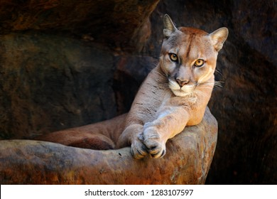 Wild big cat Cougar, Puma concolor, hidden portrait of dangerous animal with stone, USA. Wildlife scene from nature. Mountain Lion in rock habitat. Cat and the beautiful eye contact.