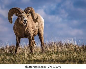 Wild Big Horn Sheep in Southern Alberta