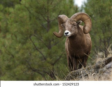 Wild Bighorn Mountain Sheep with large horns standing on cliff with pine tree backdrop Montana bow archery big game hunting Rocky Mountain alpine wildlife viewing and photography Ovis canadensis