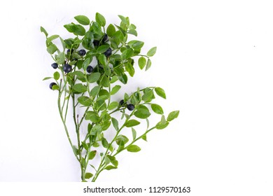 Wild bilberries or blueberries  and the branch of an blueberries bush