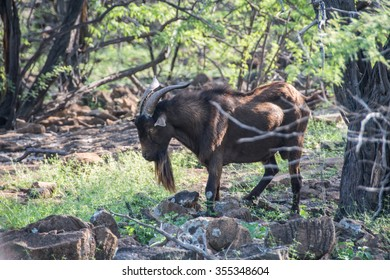 A wild billy goat forages in the back woods of the Big Island of Hawaii.