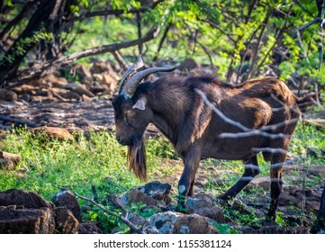 A wild billy goat forages for food in the back woods of the Big Island of Hawaii.
