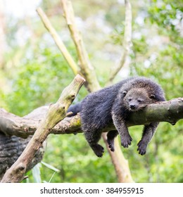 wild binturong bearcat sleeping on tree