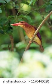 Wild bird AKASHOUBINN Red bird