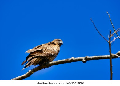 wild bird black kite is on branch