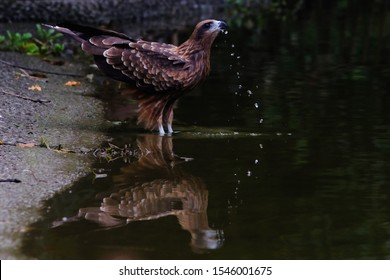 wild bird black kite in pond