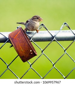 Wild bird gathers a nut from a simple rusted tin can on the chain link fence