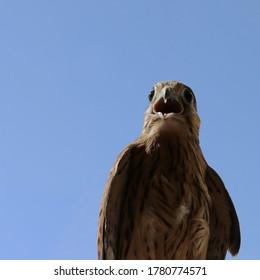 A wild bird, a Kestrel with an open beak. Falcon close-up against the blue sky. The beak and eyes of an ordinary Kestrel. Near.