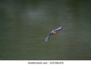 wild bird kingfisher over pond