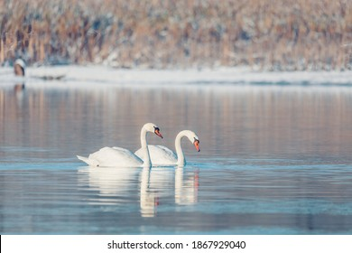 Wild bird mute swan (Cygnus olor) swim in winter on pond, Czech Republic Europe wildlife