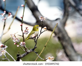 """A wild bird named """"Mejiro"""" that perches on a flowered Japanese ume tree."""