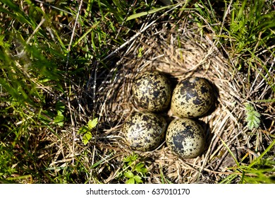 Wild bird nest on the ground with eggs