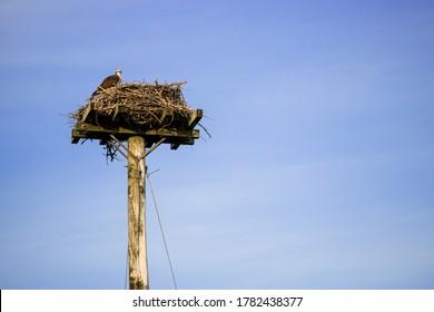Wild bird osprey eagle seat on big nest