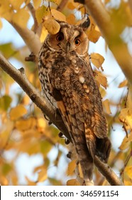 Wild bird of prey, Long-eared Owl, Asio otus, roosting in a tree, perched in orange autumn leaves lit by setting sun. Nice colors, wildlife photo, Czech republic.