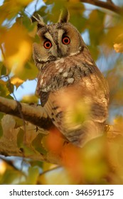 Wild bird of prey, Long-eared Owl, Asio otus, roosting in orange autumn leaves on birch, staring directly at camera, lit by setting sun, intensive colors. Vertical image, wildlife photography.