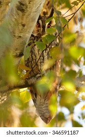 Wild bird of prey, Long-eared Owl, Asio otus, roosting in orange autumn leaves on birch, lit by setting sun, nice colors. Vertical image, wildlife photography.